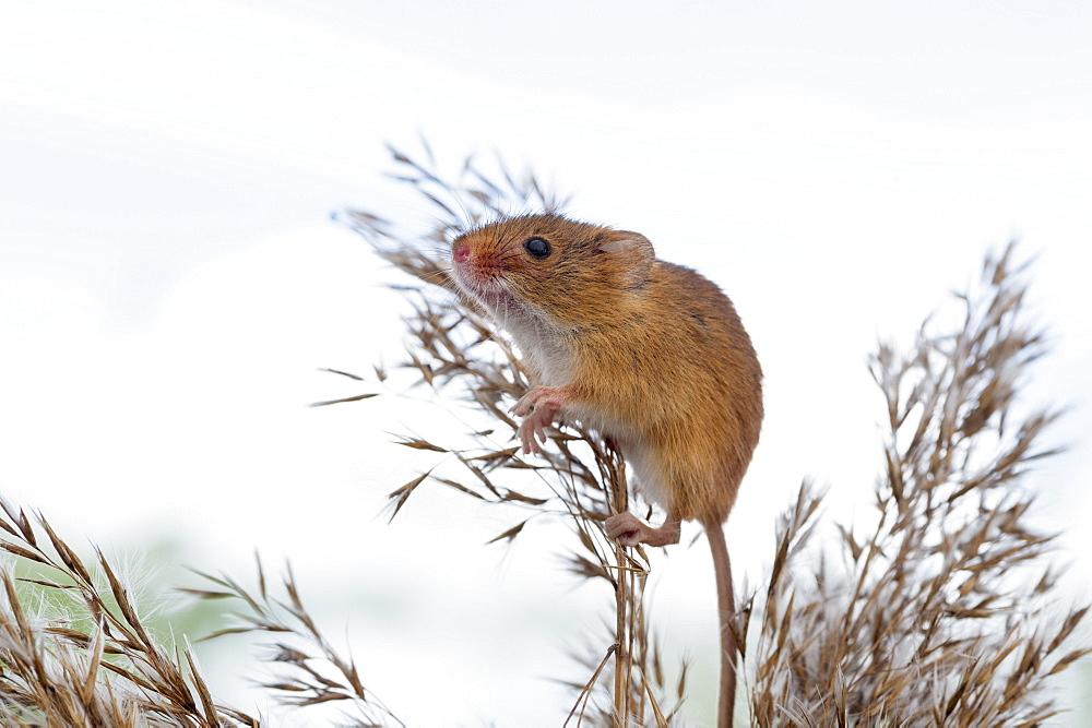 Eurasian harvest mouse (Micromys minutus), Devon, England, United Kingdom, Europe