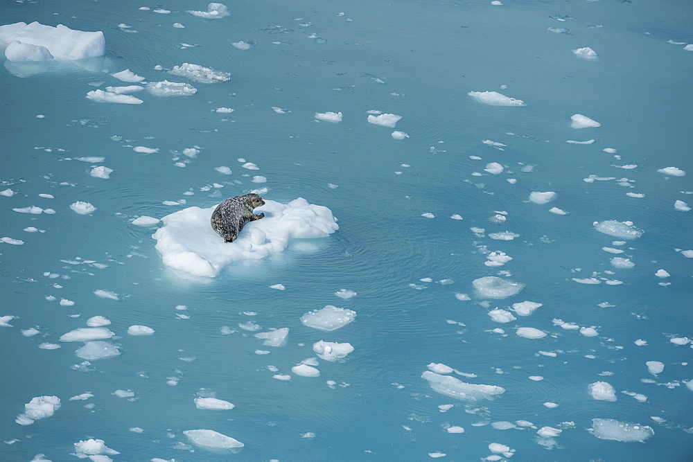 Harbour seal on ice floe, Glacier Bay, Alaska, United States of America, North America