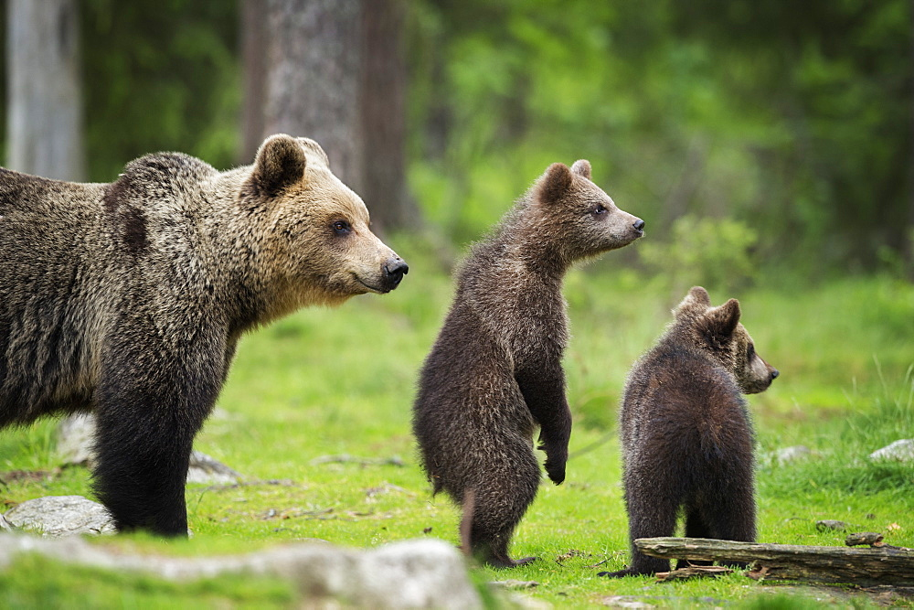 Brown bear cubs and adult (Ursus arctos), Finland, Scandinavia, Europe