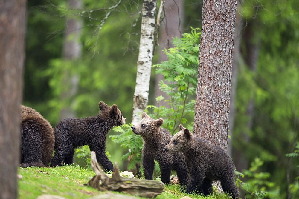 Brown bear cubs (Ursus arctos), Finland, Scandinavia, Europe