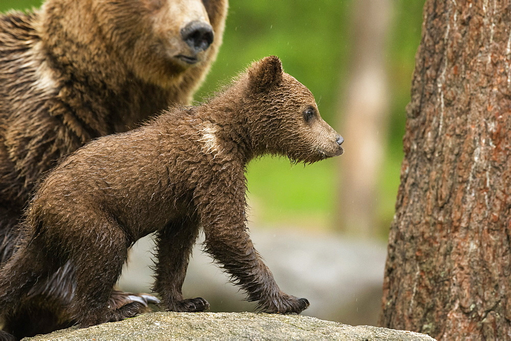 Brown bear cub (Ursus arctos), Finland, Scandinavia, Europe