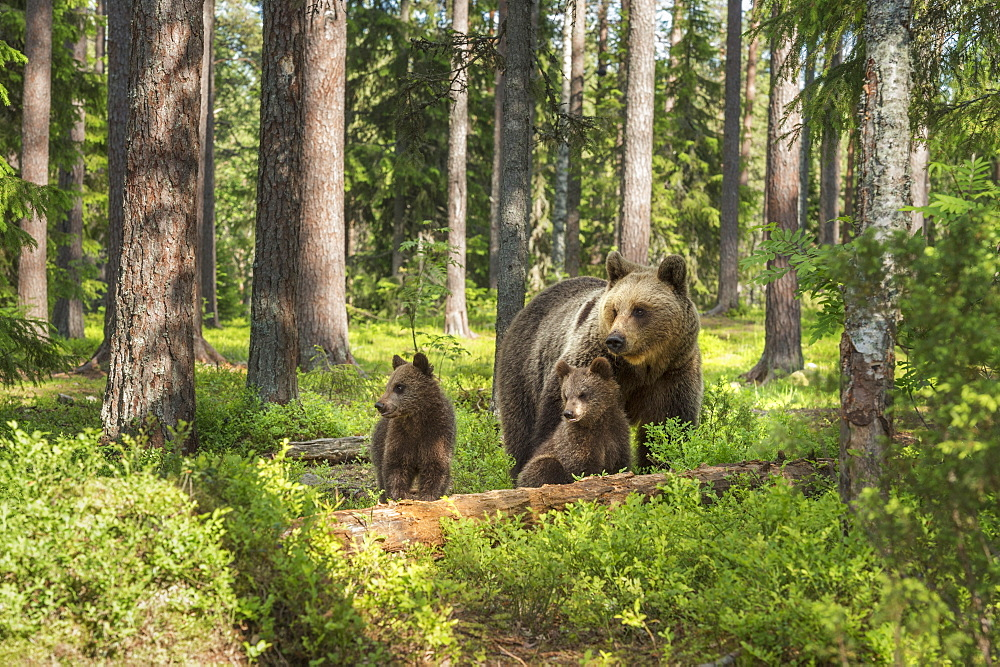 Brown bear family (Ursus arctos), Kuhmo, Finland, Scandinavia, Europe