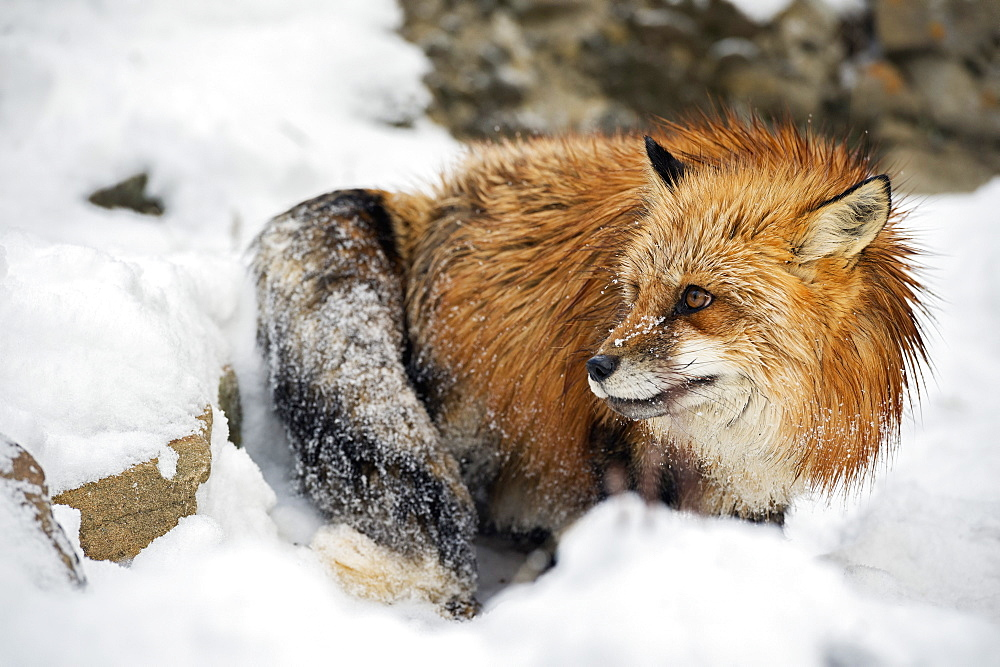 American red fox (Vulpes vulpes fulves), Montana, United States of America, North America