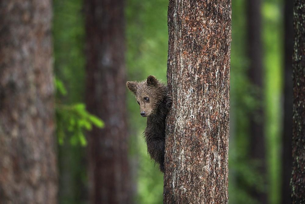 Brown bear cub (Ursus arctos) tree climbing, Finland, Scandinavia, Europe