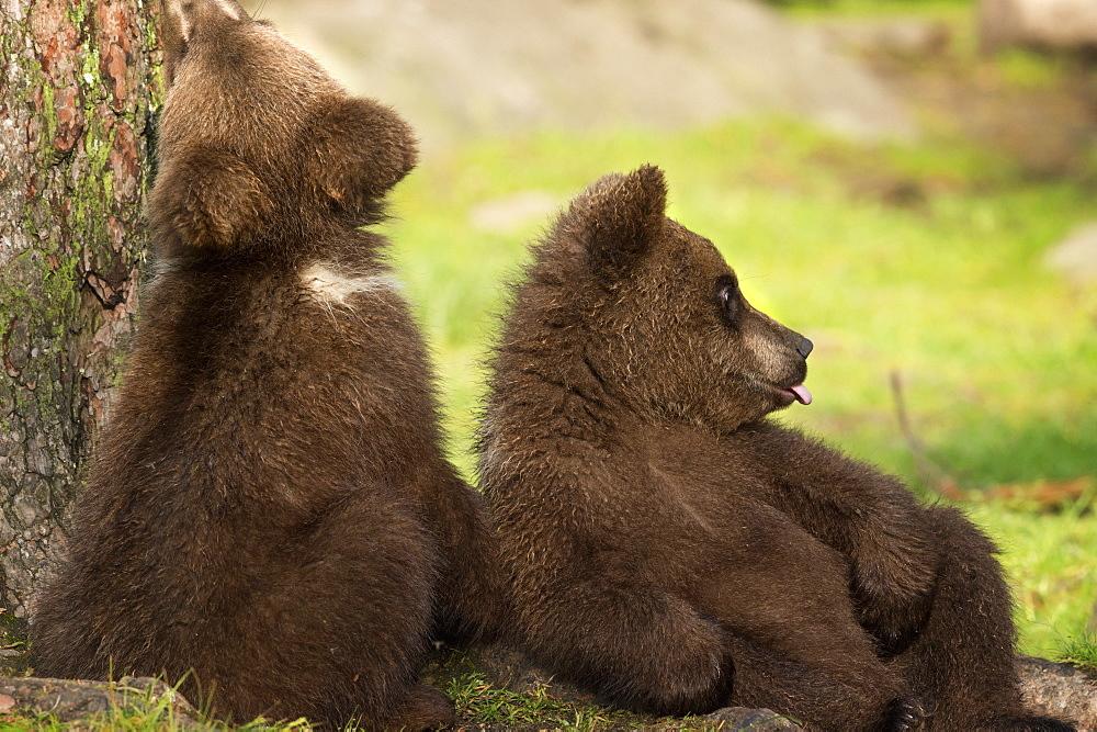 Brown bear cubs (Ursus arctos), Finland, Scandinavia, Europe