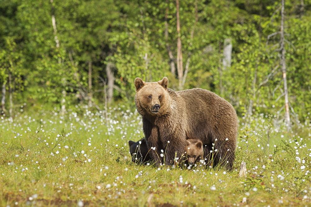 Brown bear with cubs (Ursus arctos), Kuhmo, Finland, Scandinavia, Europe