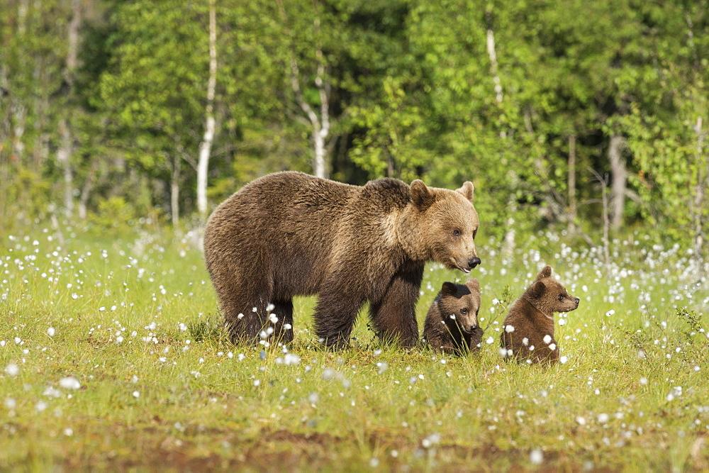 Family and cubs, brown bear (Ursus arctos), Kuhmo, Finland, Scandinavia, Europe