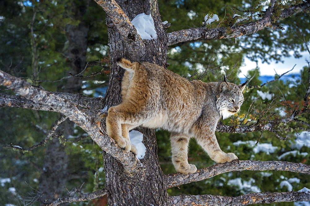 Canadian lynx (Lynx canadensis), Montana, United States of America, North America - 1185-15