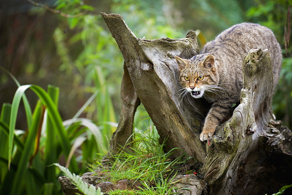 Scottish wildcat (Felix silvestris), Devon, England, United Kingdom, Europe