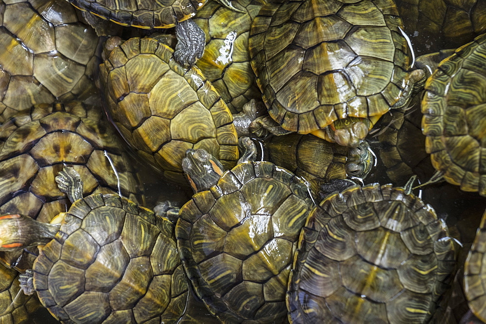Terrapins at market, Guilin, Guangxi, China, Asia