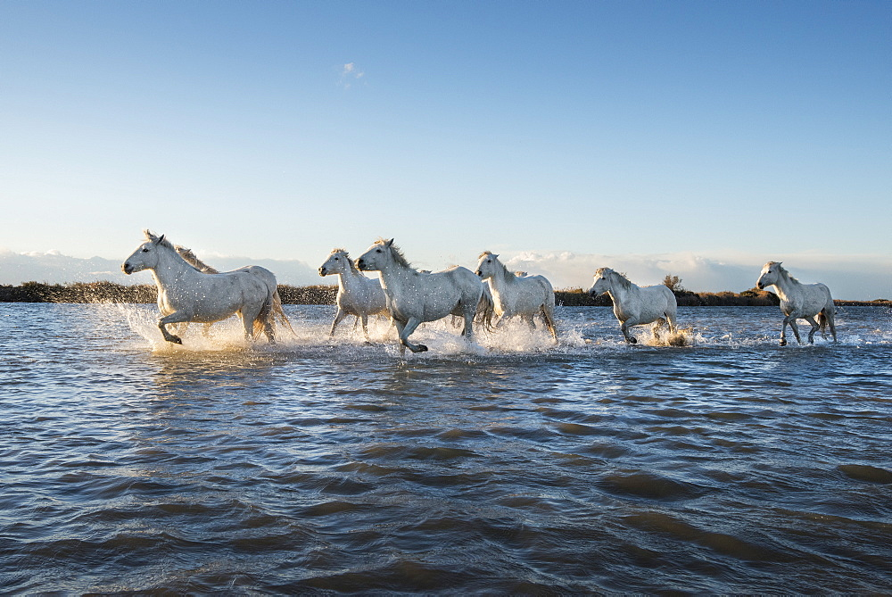 Wild white horses running through water, Camargue, France, Europe