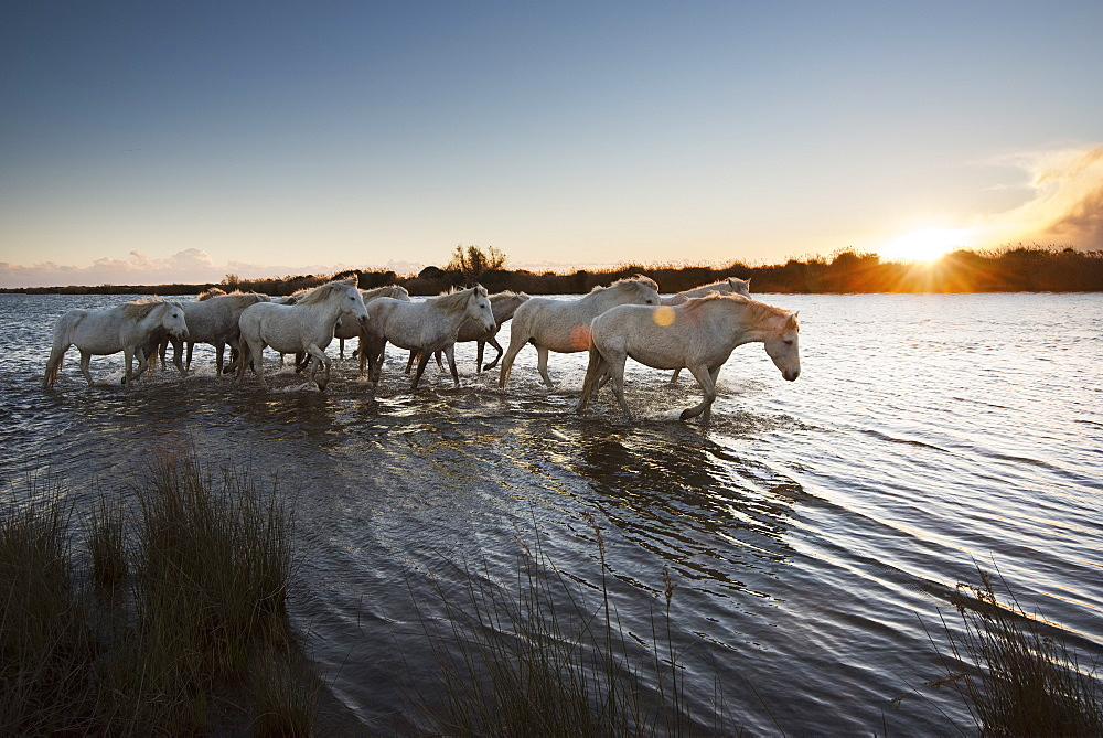 Wild white horses at sunset, Camargue, France, Europe
