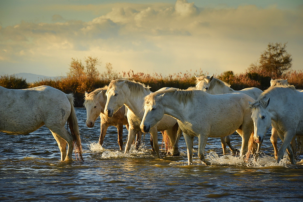 Wild white horses, Camargue, France, Europe