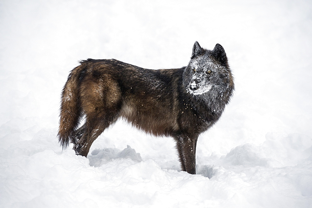 Black fox (Vulpes vulpes), Montana, United States of America, North America