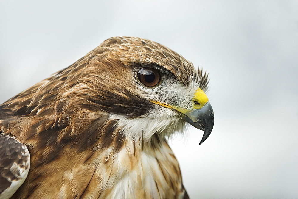 Red tailed hawk, an American raptor, bird of prey, United Kingdom, Europe