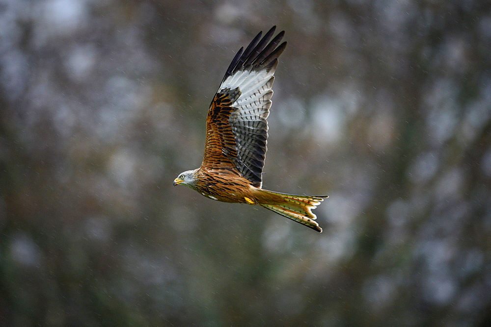 Red Kite, a bird of prey, Gigrin, Wales, United Kingdom, Europe
