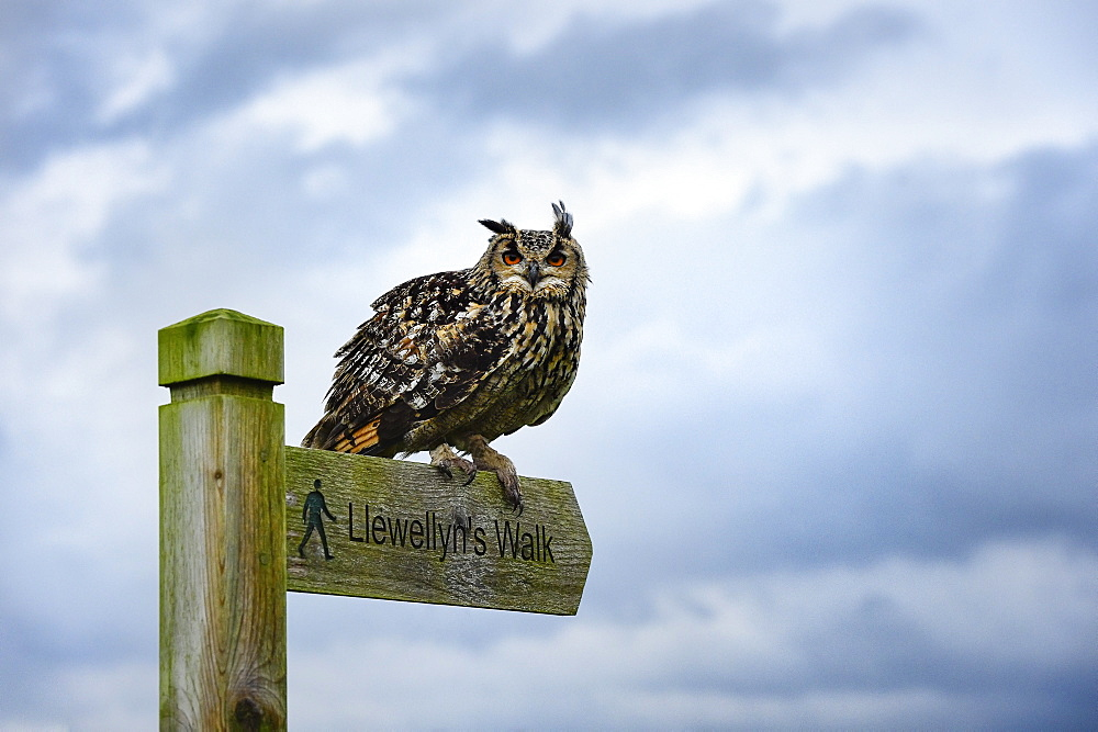Eagle owl, raptor, bird of prey on sign post for Llewellyn'sWalk, Rhayader, Mid Wales, United Kingdom, Europe