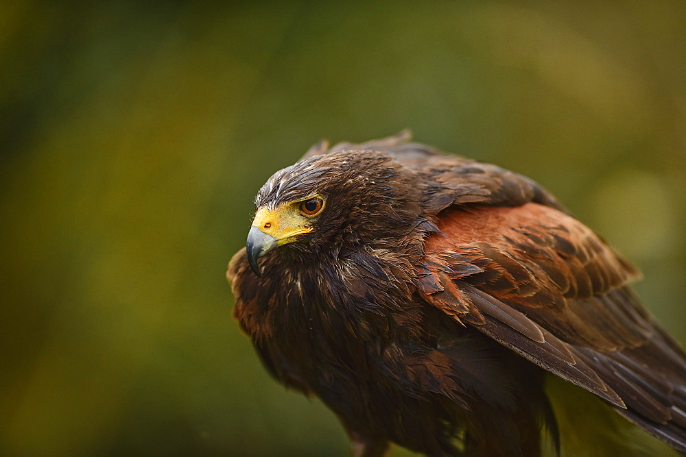 Harris hawk, United Kingdom, Europe