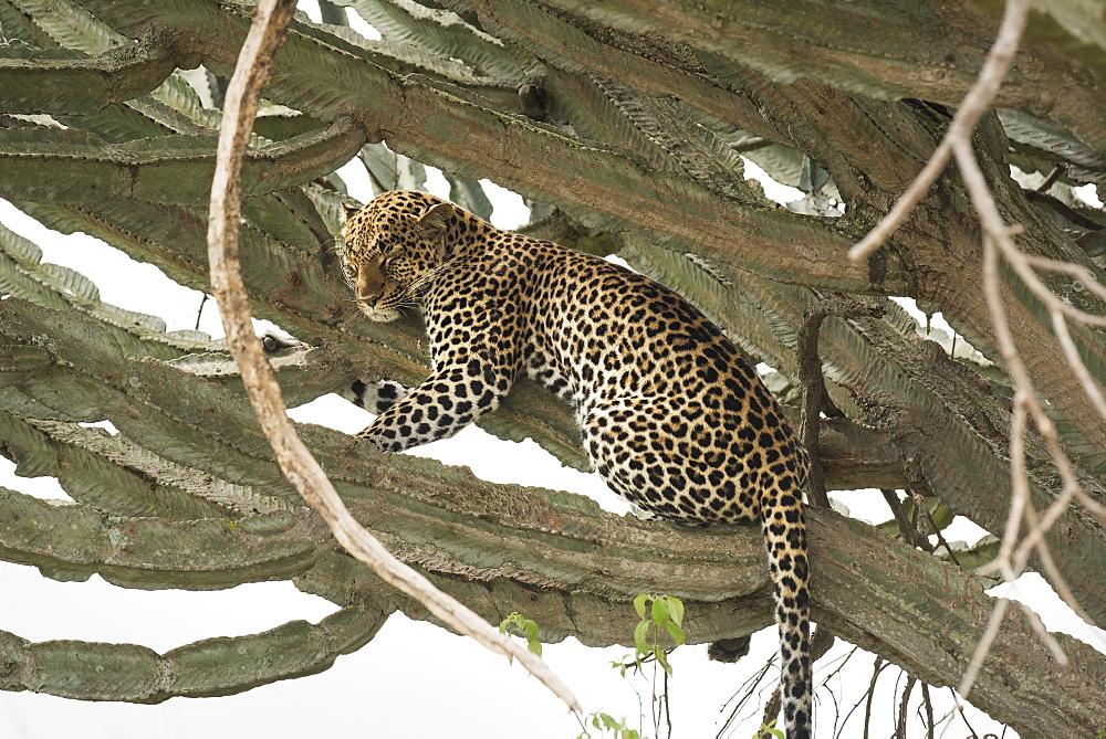 Leopard, Queen Elizabeth National Park, Uganda, Africa