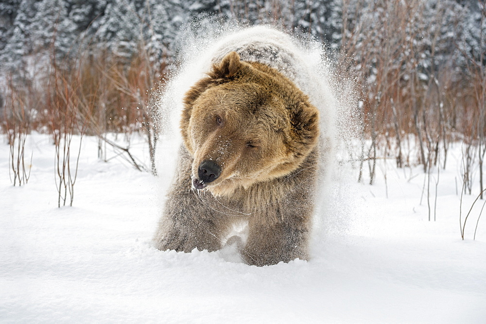 Brown bear (grizzly) (Ursus arctos), Montana, United States of America, North America - 1185-20
