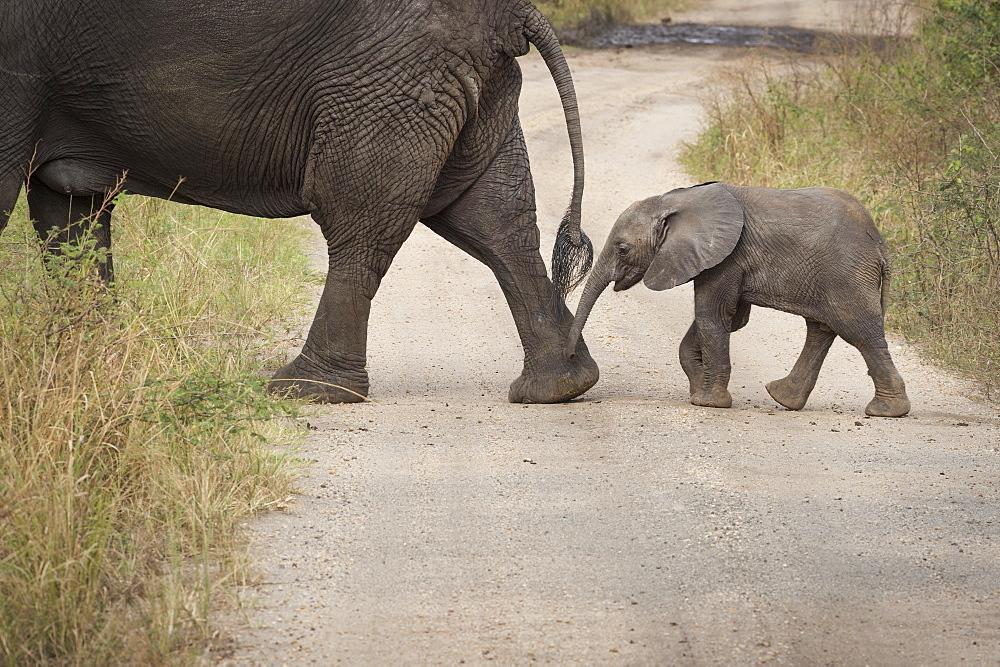 African elephant, Queen Elizabeth National Park, Uganda, Africa