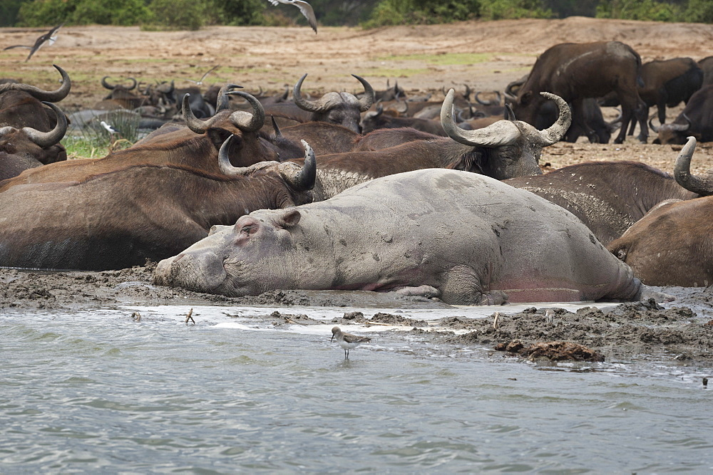 Hippopotamus and buffalo, Queen Elizabeth National Park, Uganda, Africa