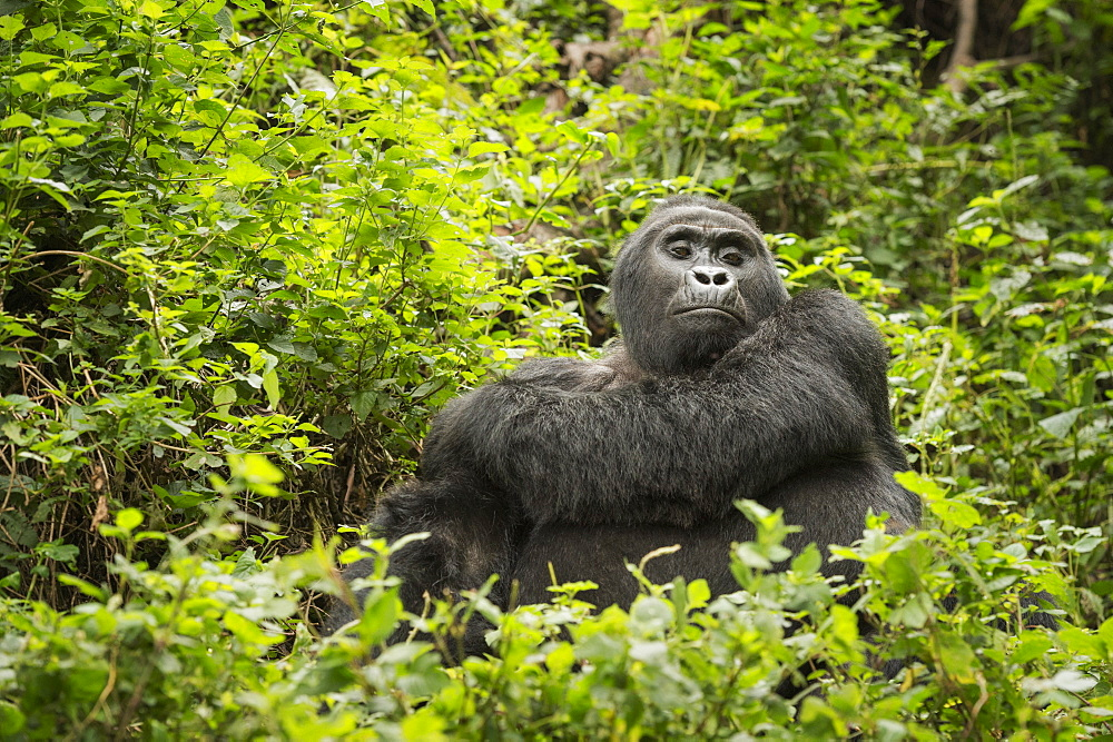 Mountain gorilla, Bwindi Impenetrable National Park, Uganda, Africa