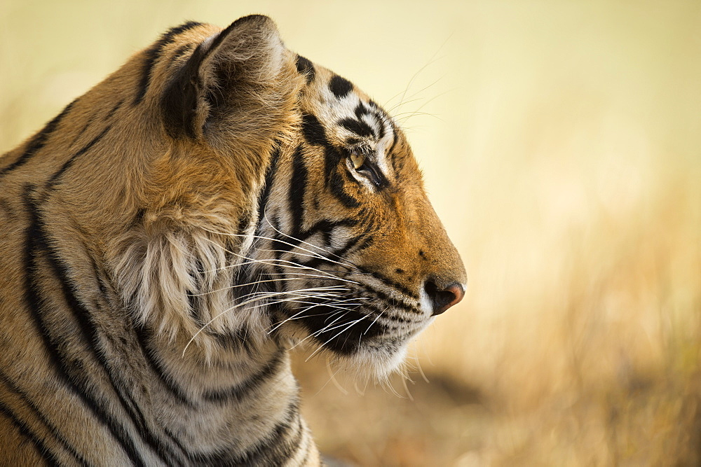 Bengal tiger, Ranthambhore National Park, Rajasthan, India, Asia