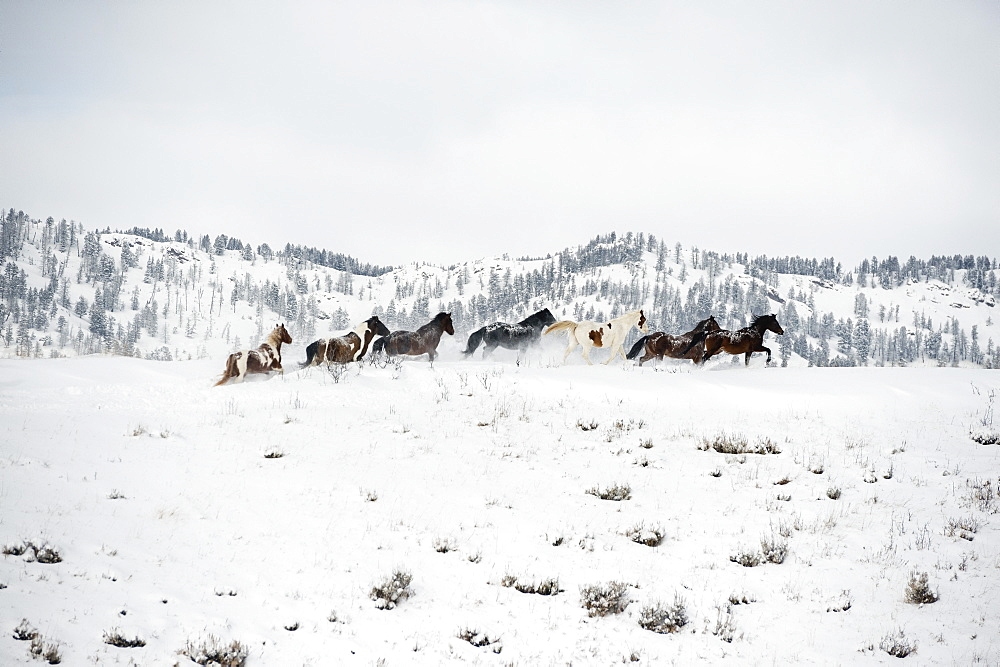Herd of horses (Equus ferus caballus), Montana, United States of America, North America