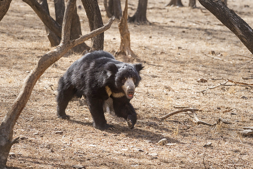Sloth bear, Ranthambhore National Park, Rajasthan, India, Asia