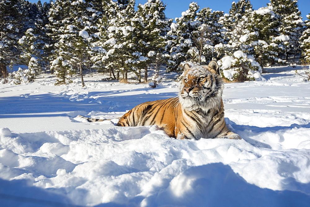 Siberian Tiger (Panthera tigris altaica), Montana, United States of America, North America