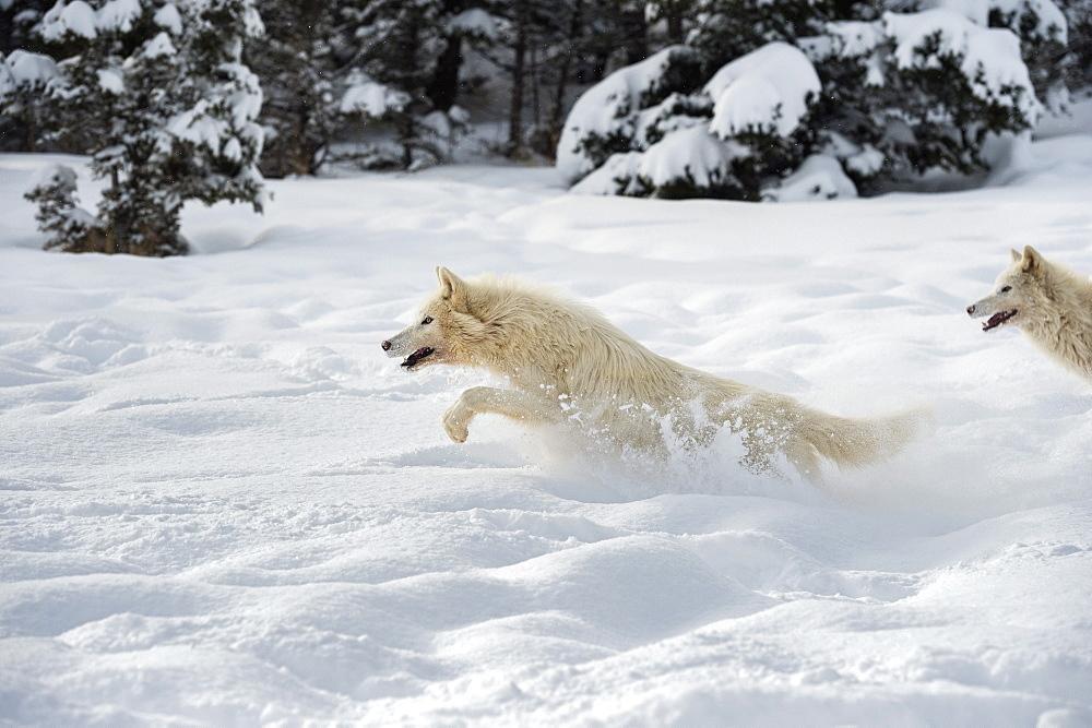 Photo of Arctic wolf (Canis lupus arctos) running, Montana, United States of America, North America