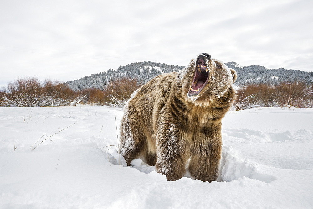 Brown bear (grizzly) (Ursus arctos), Montana, United States of America, North America - 1185-26