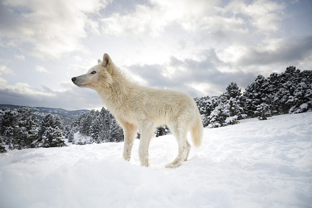 Photo of Arctic wolf (Canis lupus arctos), Montana, United States of America, North America