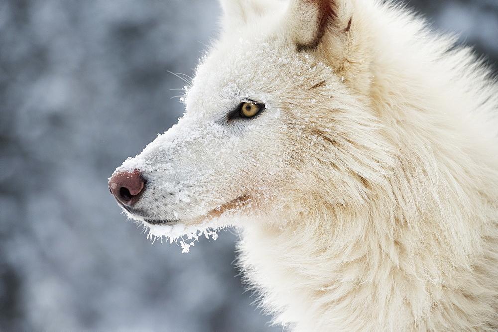 Arctic wolf (Canis lupus arctos), Montana, United States of America, North America - 1185-30
