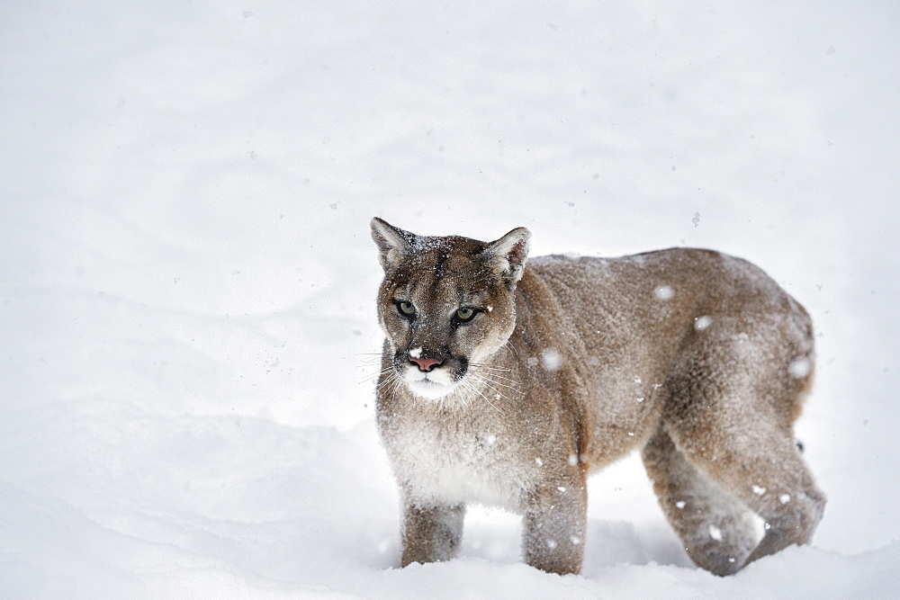 Mountain lion (puma) (cougar) (Puma concolor), Montana, United States of America, North America