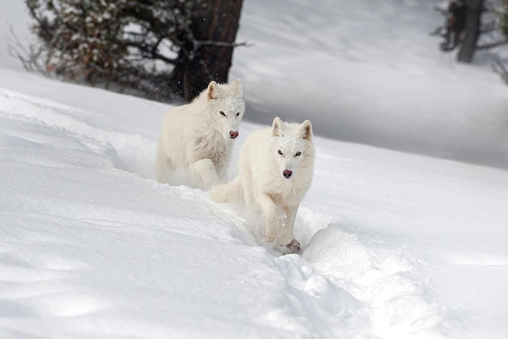 Photo of Arctic wolves (Canis lupus arctos), Montana, United States of America, North America