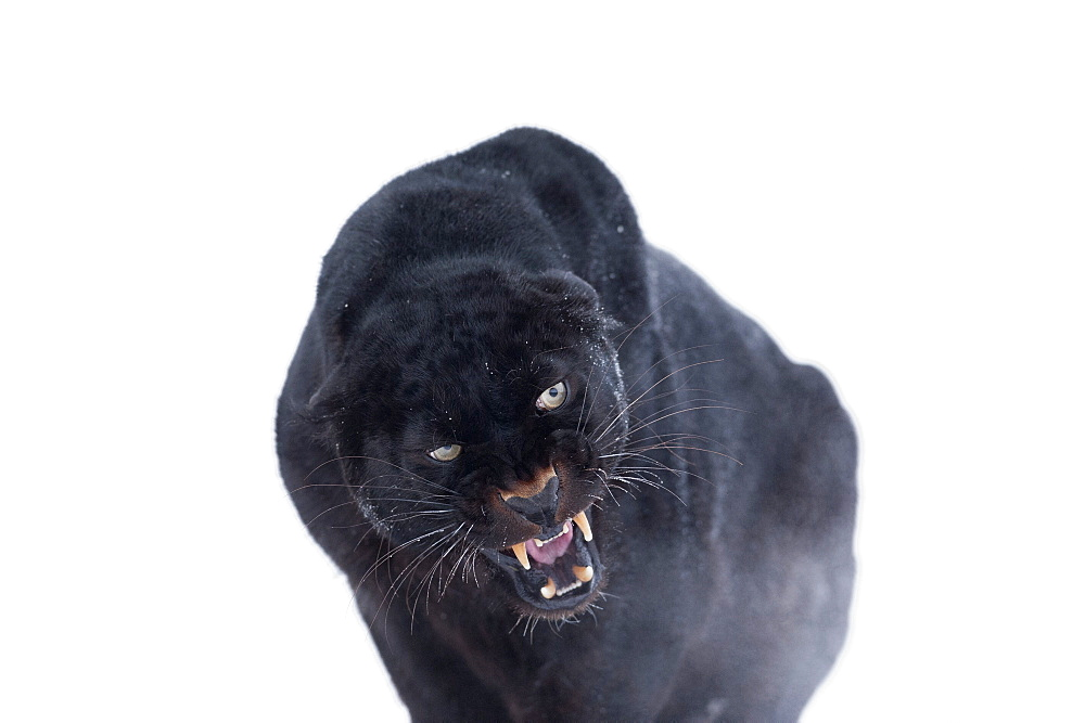 Black panther (black leopard) (Panthera onca), Montana, United States of America, North America - 1185-37