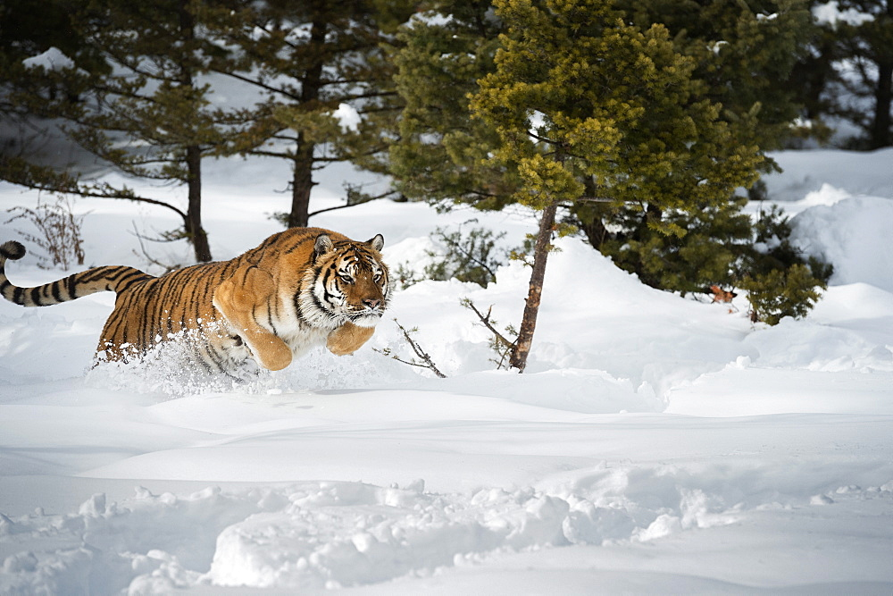 Siberian Tiger (Panthera tigris altaica), Montana, United States of America, North America - 1185-40