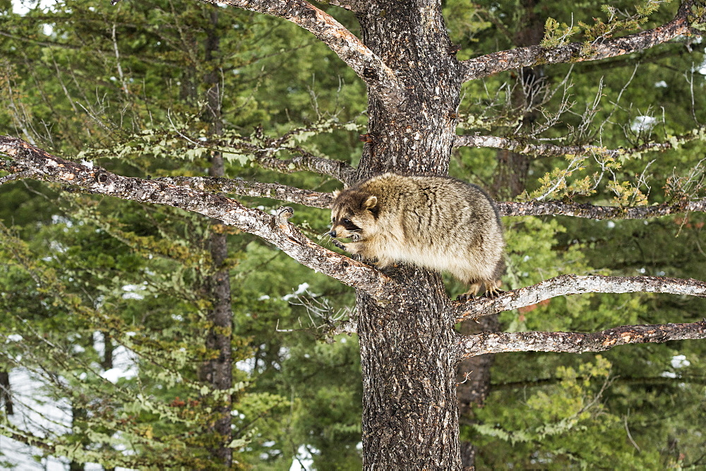 Racoon (raccoon) (Procyon lotor), Montana, United States of America, North America