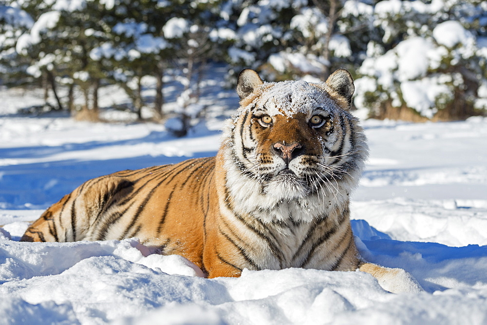 Siberian Tiger (Panthera tigris altaica), Montana, United States of America, North America - 1185-54