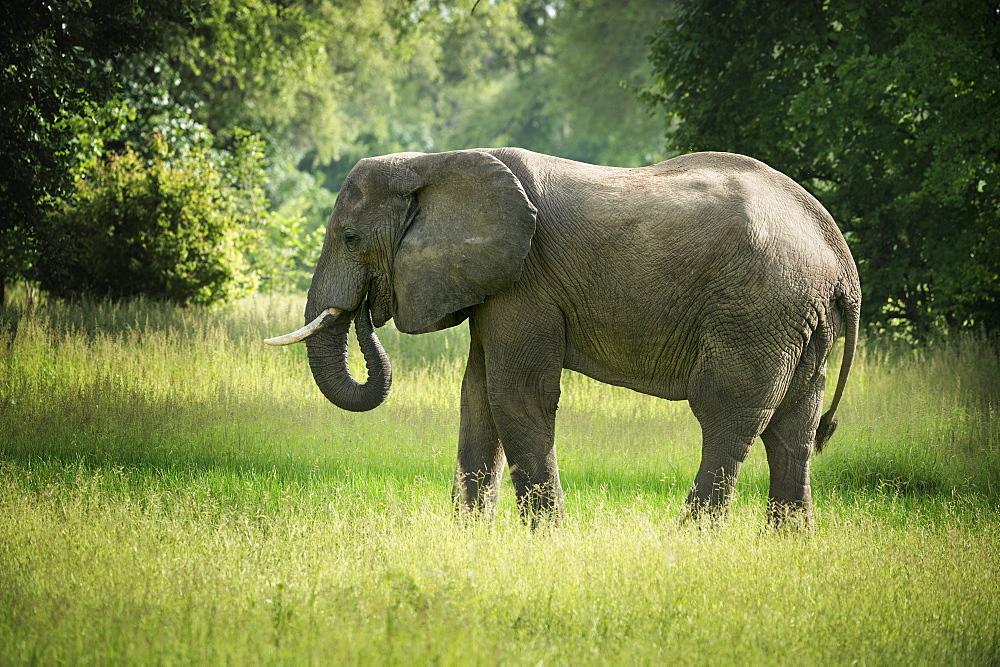 African elephant (Loxodonta), South Luangwa National Park, Zambia, Africa