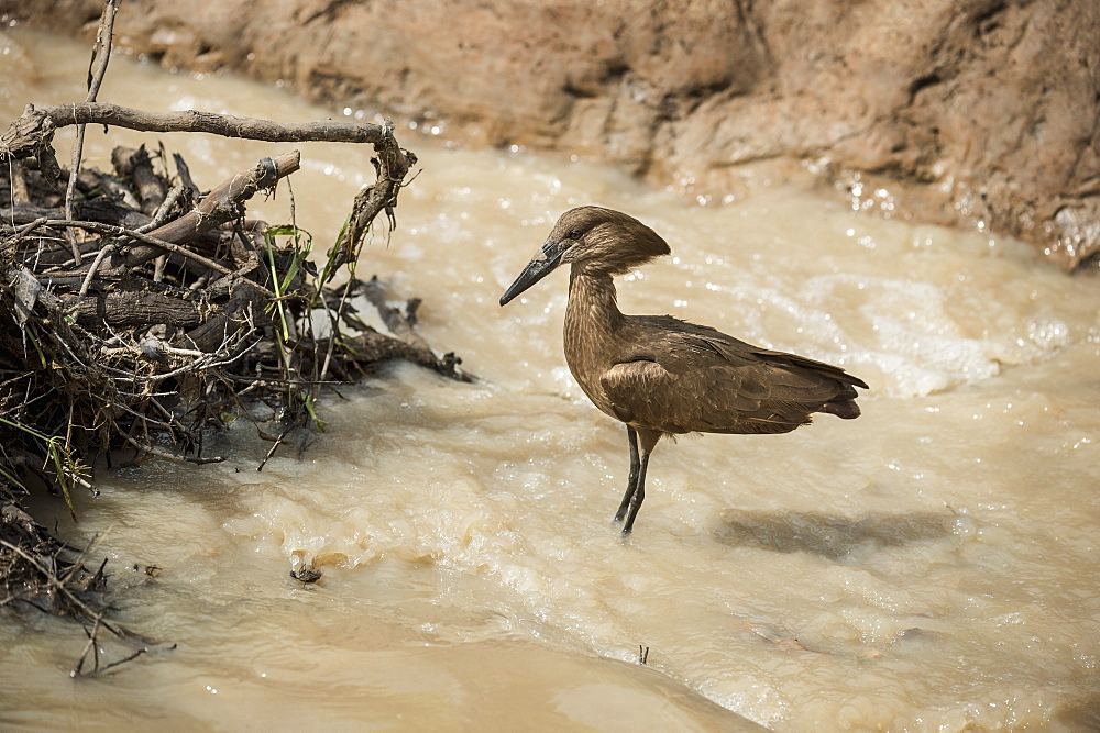 Hamerkop (Scopus umbretta), South Luangwa National Park, Zambia, Africa