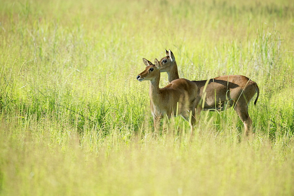Female impala (Aepyceros melampus), South Luangwa National Park, Zambia, Africa
