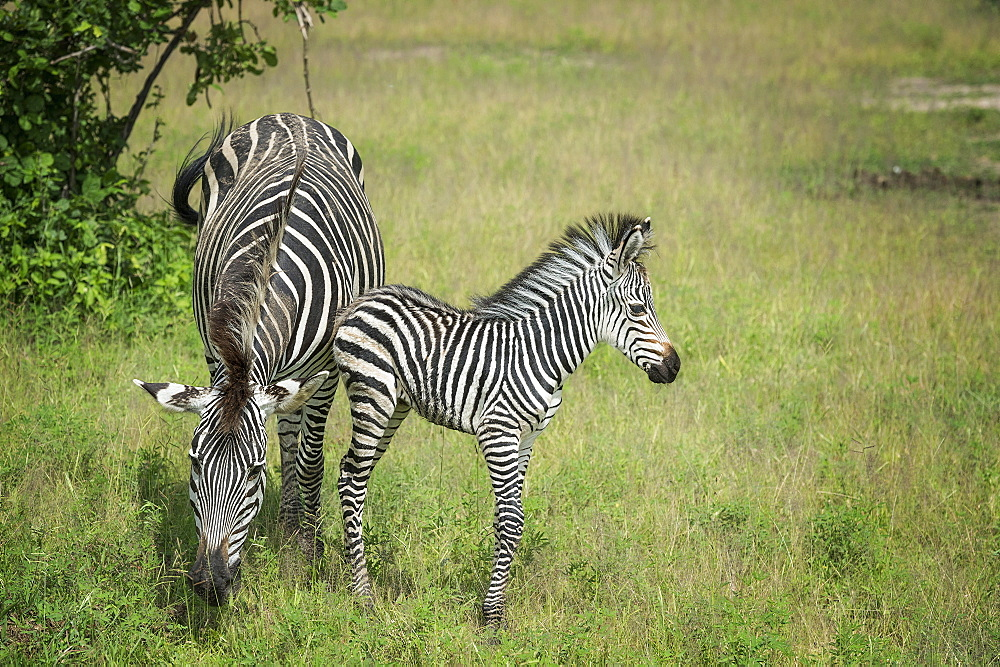 Crawshays zebra mother and foal (Equus quagga crawshayi), South Luangwa National Park, Zambia, Africa