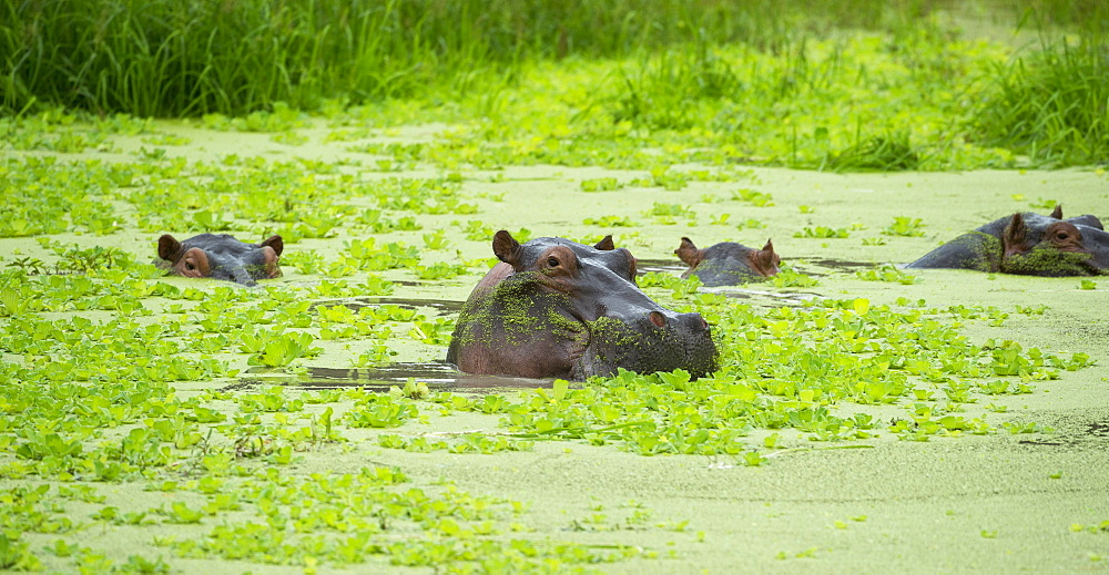 Hippopotamus (Hippos) wallowing in Hippo pool, South Luangwa National Park, Zambia, Africa