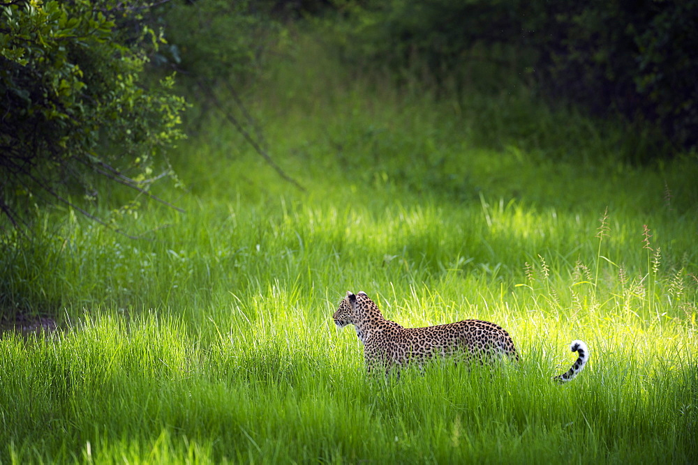 Leopard (Panthera), South Luangwa National Park, Zambia, Africa