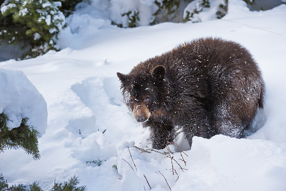 Black bear (Ursus Americanus), Montana, United States of America, North America