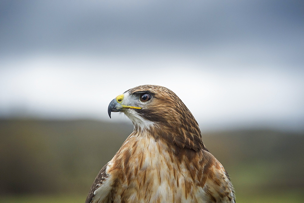 Red-tailed hawk (Buteo jamaicensis), bird of prey, Herefordshire, England, United Kingdom, Europe