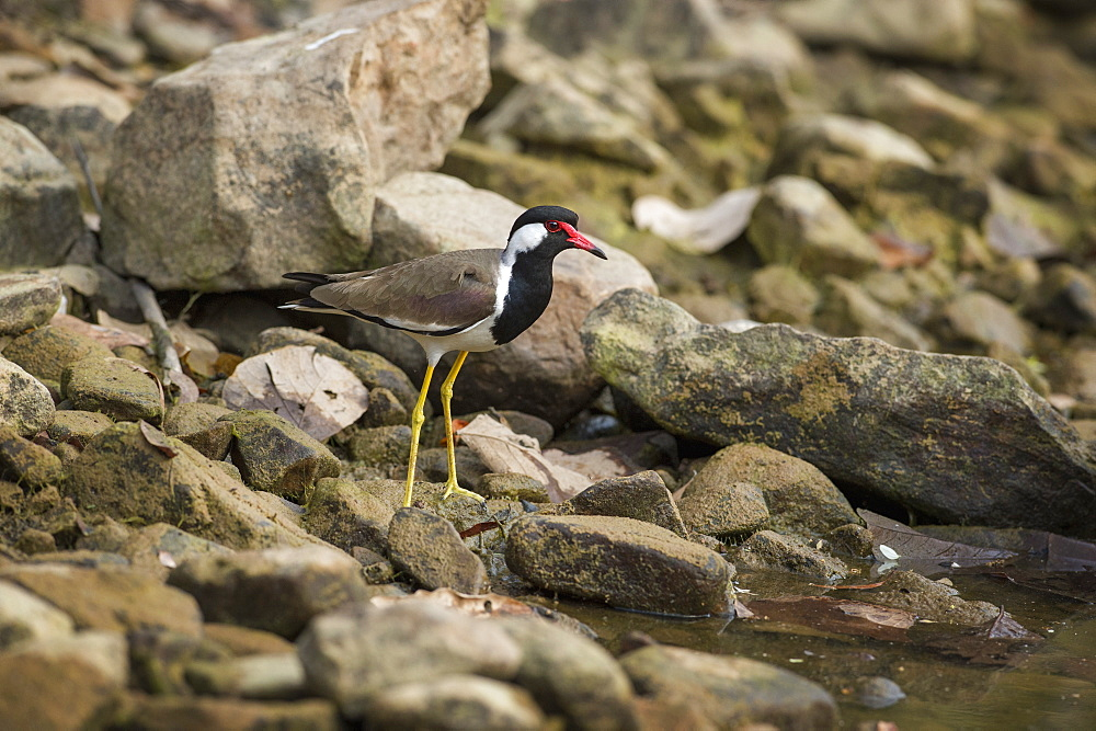 Red wattled lapwing (Vanellus indicus), Ranthambhore, Rajasthan, India, Asia